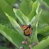 Monarch Butterfly Ovipositing on Common Milkweed 2