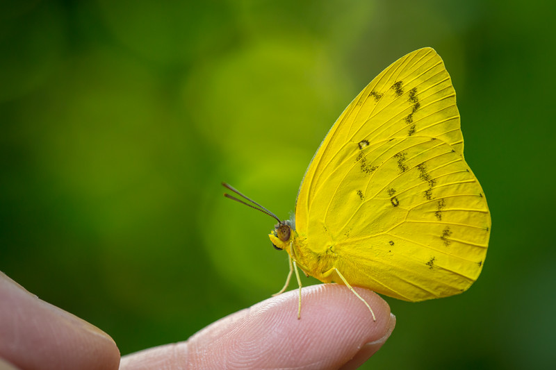 Cloudless Sulfur Butterfly on my finger (Phoebis sennae)