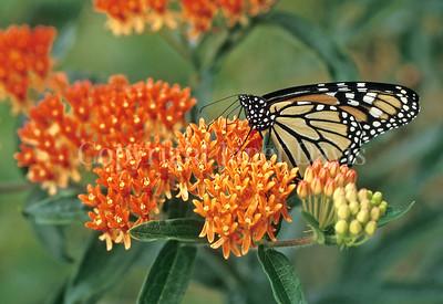 Monarch Butterfly on Butterfly Milkweed 1
