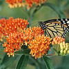 Monarch Butterfly on Butterfly Milkweed 1