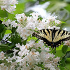 Eastern Tiger Swallowtail Butterfly on Beautybush