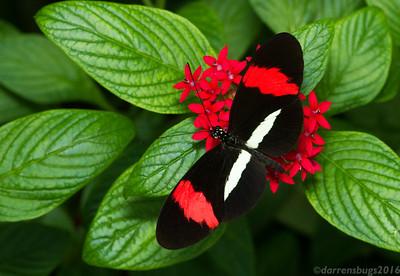 Postman butterfly, Heliconius melpomene. (Monteverde, Costa Rica)