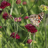 Painted Lady Butterfly on Knautia