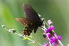 Pipevine Swallowtail on Wildflowers