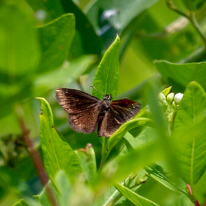 1 Common Sootywing
