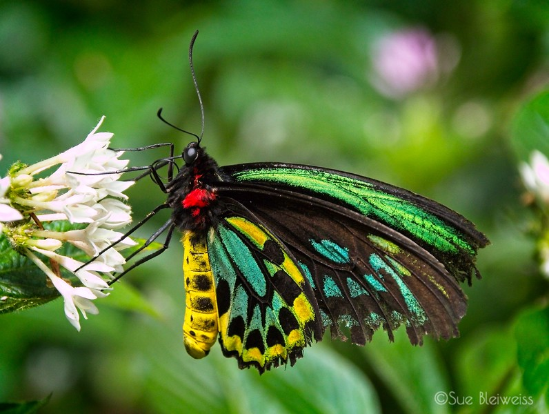 Cairn Butterfly