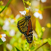 Migrating Monarch Macro