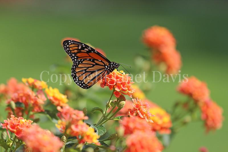 Monarch Butterfly on Lantana 2