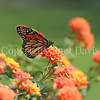 Monarch Butterfly on Lantana 2
