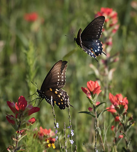 Pipevine swallowtails  Feasting on Indian Paintbrush