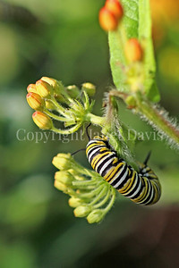 Monarch Butterfly Caterpillar on Butterfly Milkweed 3