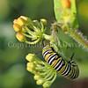 Monarch Butterfly Caterpillar on Butterfly Milkweed 3
