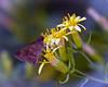 Clouded skipper , butterfly flower,Texas, Estero Yllano -3849_1