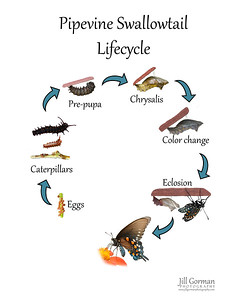 Lifecycle pipevine