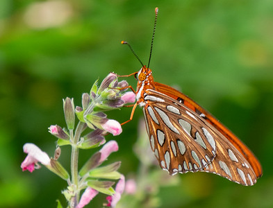gulf fritillary nectaring on salvia