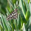 Gulf Fritillary (Agraulis vanillae)