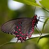 Butterfly 6032