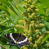White Admiral Butterfly on Staghorn Sumac