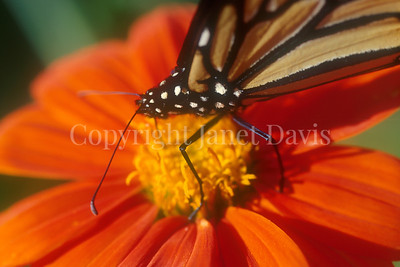 Monarch Butterfly on Mexican Sunflower 2