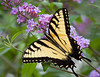 Tiger Swallowtail on Lilacs