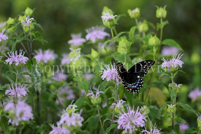 Black Swallowtail Butterfly on Wild Beebalm 2