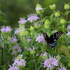 Black Swallowtail Butterfly on Wild Beebalm 2