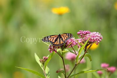 Monarch Butterfly on Swamp Milkweed 1