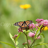 Monarch Butterfly on Swamp Milkweed 1