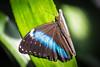Blue-Banded Morpho Butterfly (Morpho achilles)