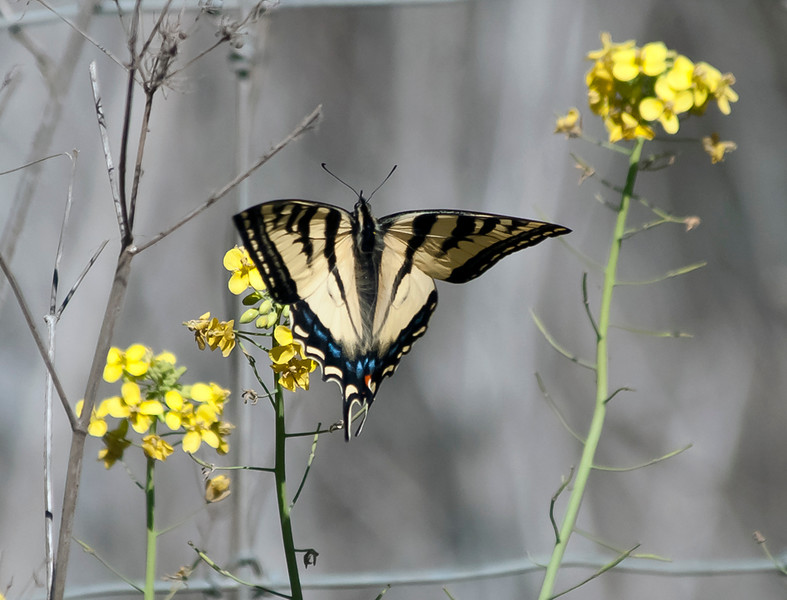 Western swallow tail