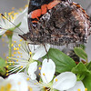 Red Admiral Butterfly on Plum Blossoms 4