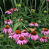 Painted Lady Butterfly on Purple Coneflower 4