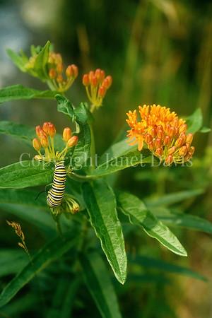 Monarch Butterfly Caterpillar on Butterfly Milkweed 2
