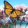 Viceroy Butterfly on Joe Pye Weed