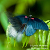 """Making the mount...  (Also see the """"Butterflies of St. Martin"""" gallery)"""
