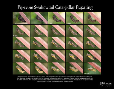 Pipevine pupating 11x14 copy