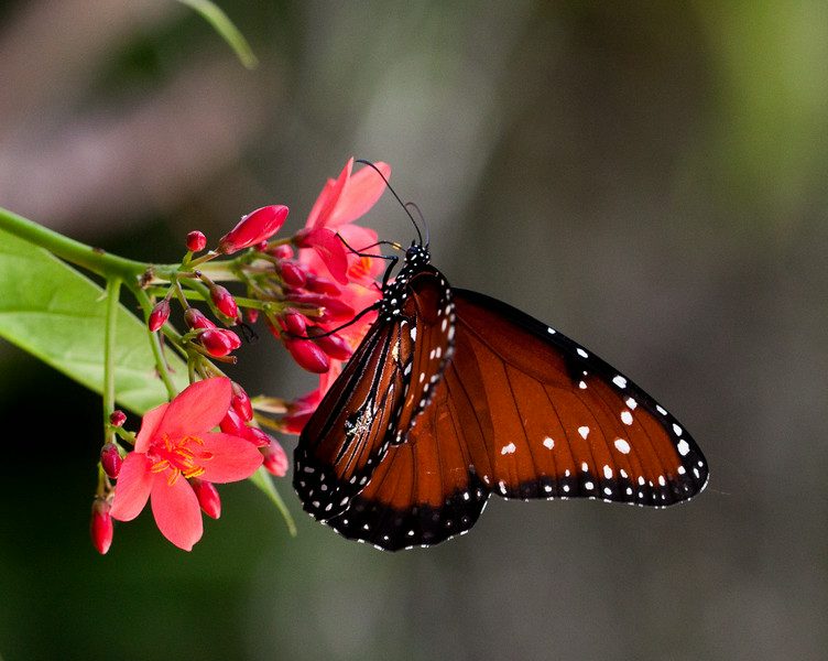 queen butterfly on jatropha