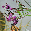 Monarch Butterfly on New York Ironweed 2