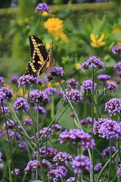 Black Swallowtail Butterfly on Tall Verbena 1