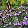 Black Swallowtail Butterfly on Tall Verbena 1