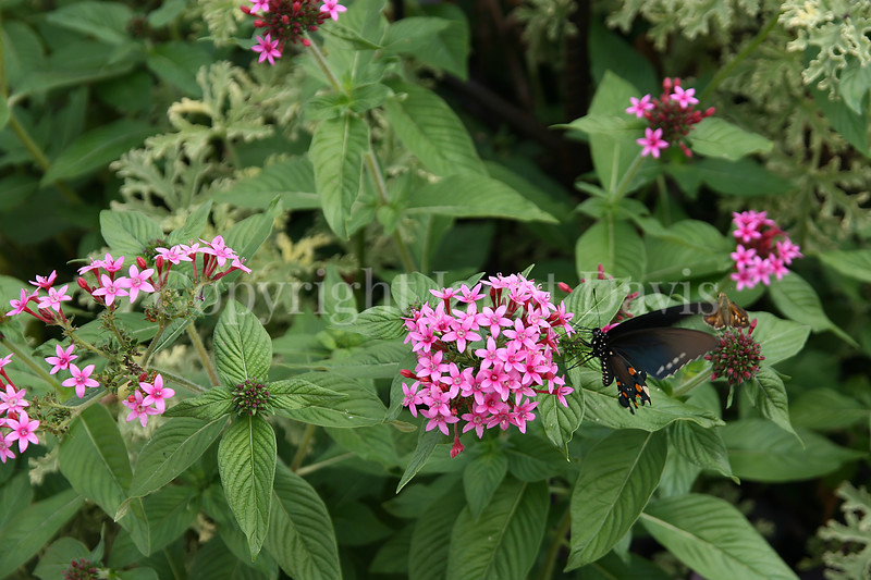 Pipevine Swallowtail on Pentas