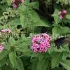 Pipevine Swallowtail on Pentas