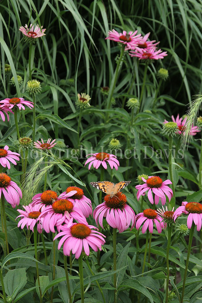 Painted Lady Butterfly on Purple Coneflower 3