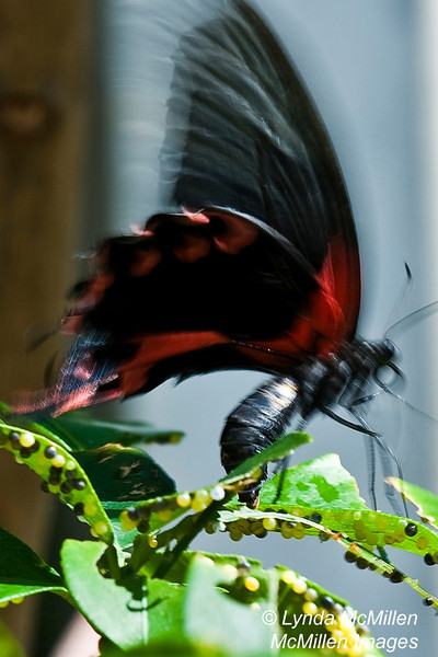 """Female laying eggs.  (Also see the """"Butterflies of St. Martin"""" gallery)"""