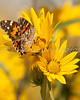 Painted Lady on Yellow Sunflowers