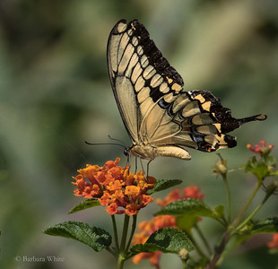 Western Giant Swallowtail Butterfly