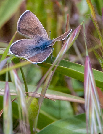 Mission Blue butterfly female (Icaricia icariodes missionensis)