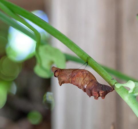 polydamas swallowtail chrysalis