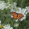 Viceroy Butterfly on Queen Anne's Lace 1
