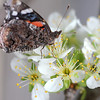 Red Admiral Butterfly on Plum Blossoms 2
